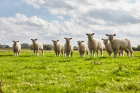 Luxury bed manufacturer purchases rare sheep for limited edition mattress